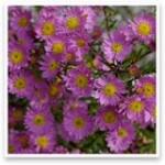 Small flowered Asters