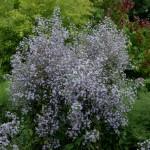 03_028_s.cordifolium.chieftain
