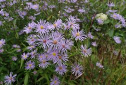 Species Asters